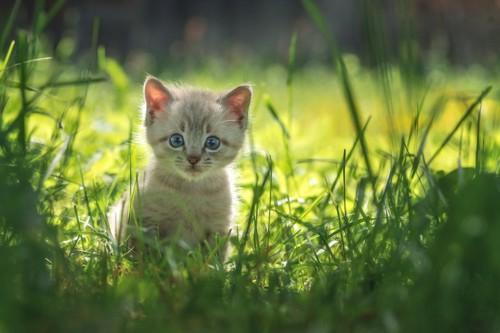 草むらの陰からこちらを見つめる子猫