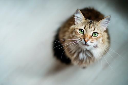 床に座ってこちらを見上げる猫