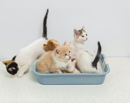 一つの猫用トイレに入るたくさんの子猫たち