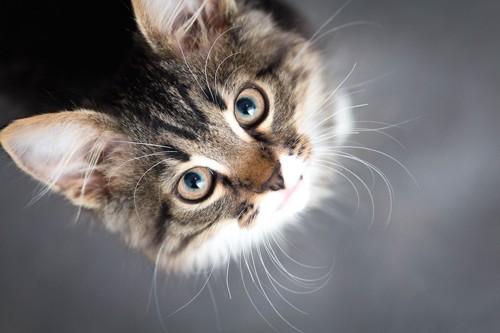 上を見つめる猫の顔アップ