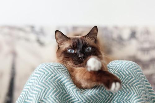 飼い主の膝の上から見つめる猫