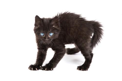 尻尾を膨らませて威嚇する猫