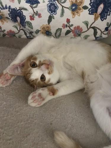 万歳の格好で仰向けになる猫