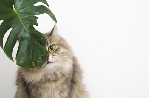 モンステラに隠れこちらを見る長毛猫