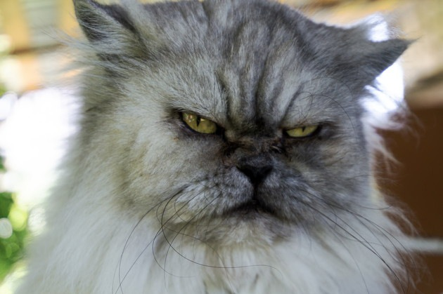 険しい顔の猫