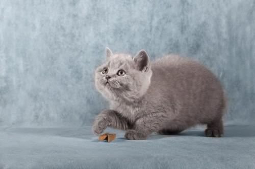 洗濯バサミで遊ぶグレーの子猫