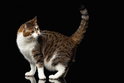 後ろのほうをみる猫