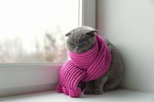 マフラーを巻いている猫