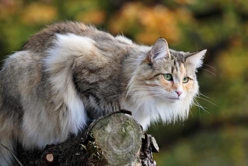 木の上にいるノルウェージャン