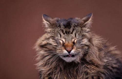くしゃみをする長毛猫