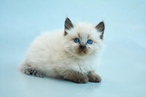 バリニーズの子猫