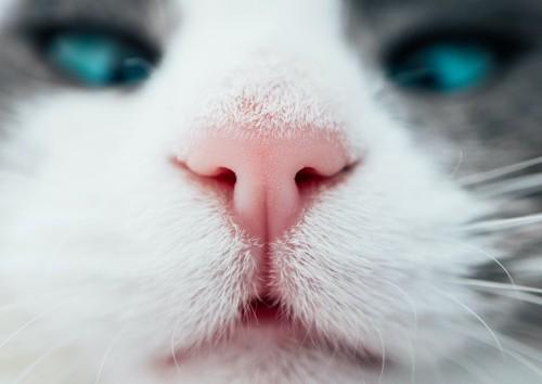 寄り目になっている猫の顔アップ