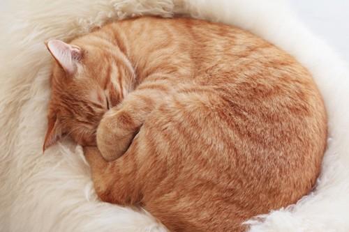 白い毛皮の上で丸まって眠る猫