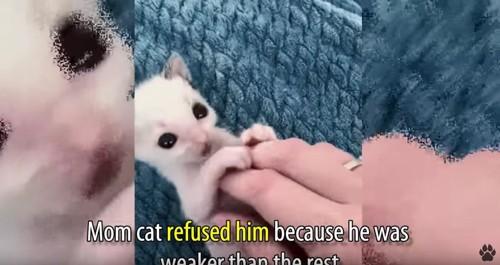 大きなめの白い子猫