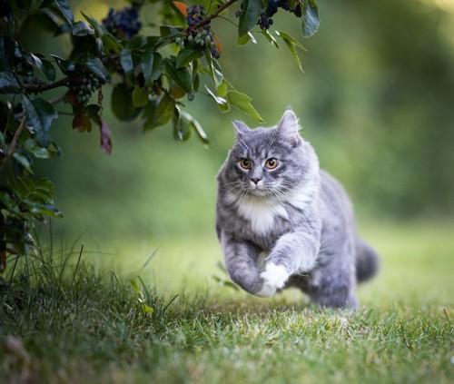 草むらを真剣にダッシュしている猫