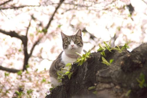 満開の木に登る猫