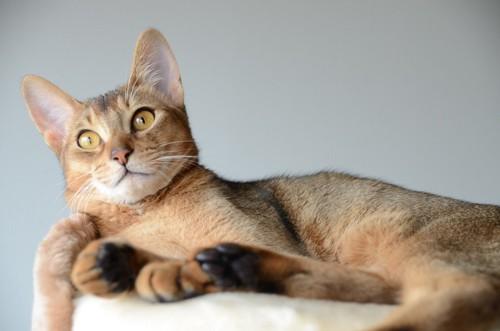 耳立てている猫
