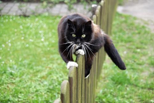 塀の上でバランスを取る猫