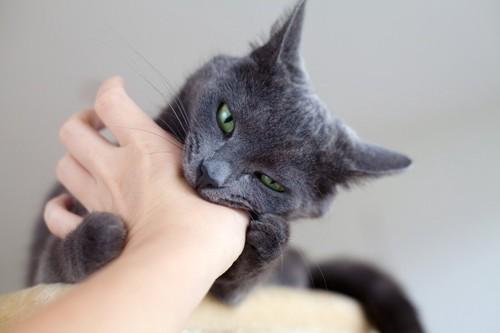 手に抱えて噛み付く猫