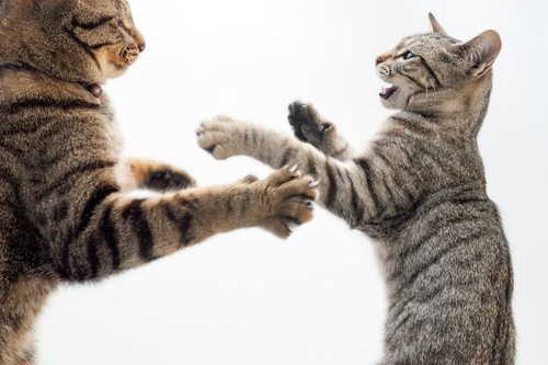 立ち上がって猫パンチする2匹の猫