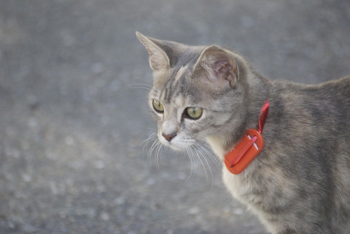 名札を付ける猫