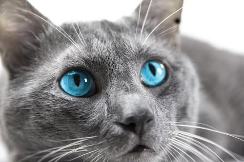 青い目の猫の顔アップ