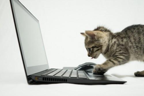 パソコンで調べ物をする子猫