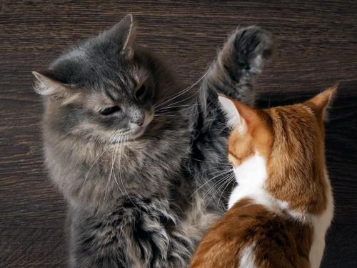 茶白猫に手を上げるグレーの長毛猫
