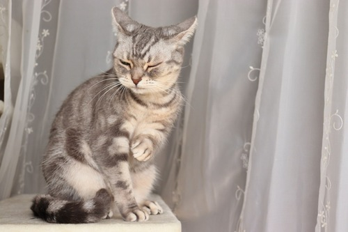 いか耳の猫