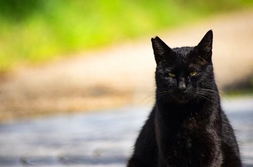 鋭い眼差しをした桜耳の黒猫