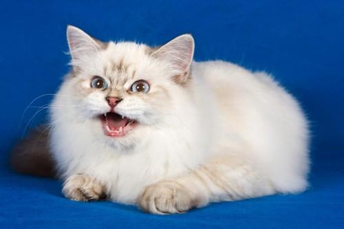 鳴いて訴える猫