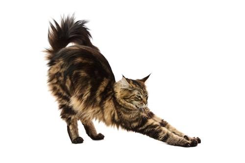 身体を伸ばしてストレッチしている猫