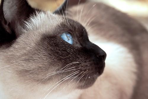 黄昏れるシャム猫