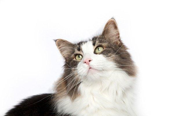 白い背景の長毛種の猫