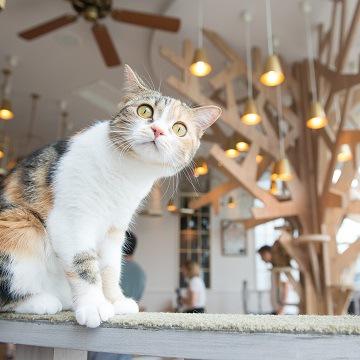 渋谷の猫カフェMOCHA(モカ) 原宿店の猫