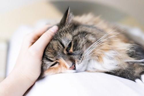 横たわって頭をなでてもらう猫