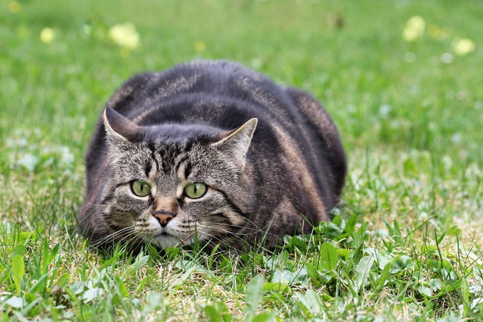 姿勢を低くする猫