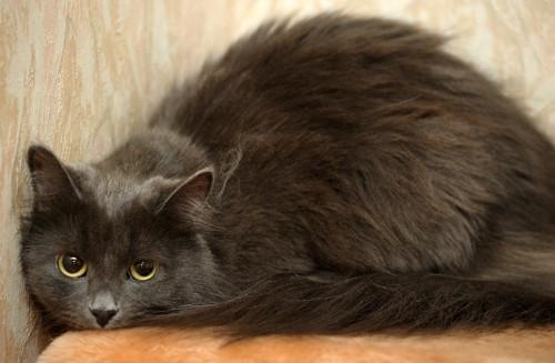 部屋の隅で怯えてうずくまるグレーの猫