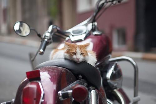 赤いバイクの上に乗る猫