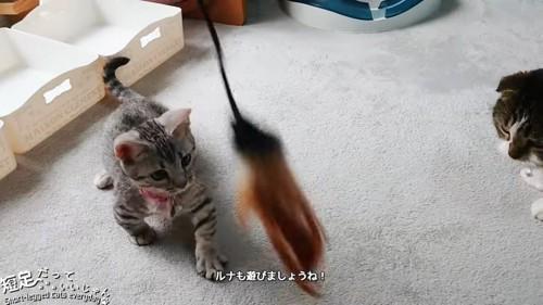 おもちゃに向かう子猫