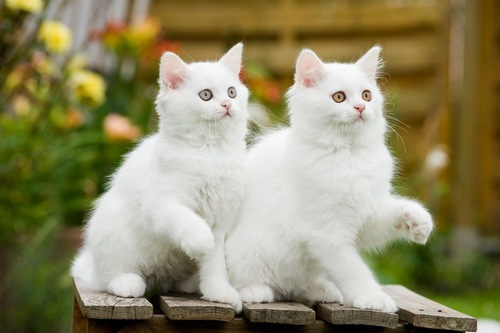 シンクロする白猫