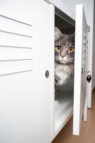 棚の開いた扉から顔を出す猫