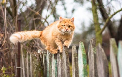 尖った木の塀を歩く猫