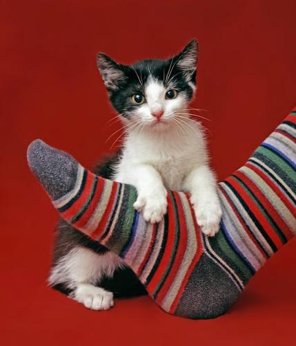 靴下を履いた飼い主の足に乗る子猫