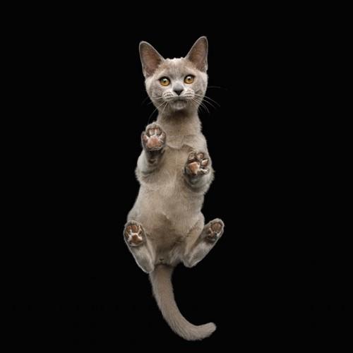 薄茶色の肉球の猫