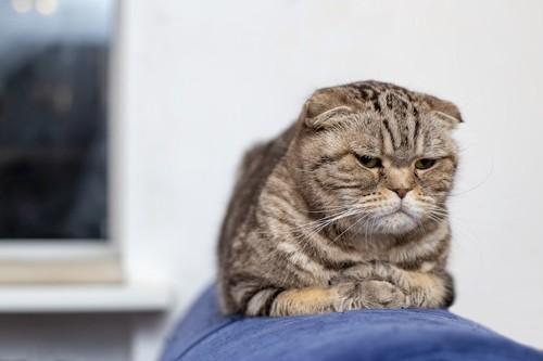 ちょっぴり悲しそうな顔をするスコティッシュフォールド