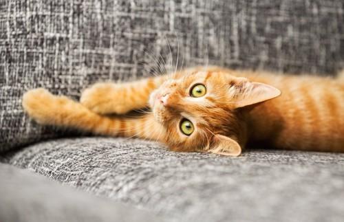 ソファーに寝転んでこちらを見る猫