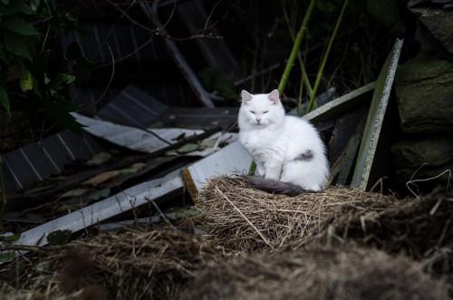 藁の上に座っている白猫