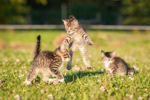 草原で遊ぶ子猫たち