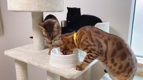 ごはんを食べる黄色い首輪の猫